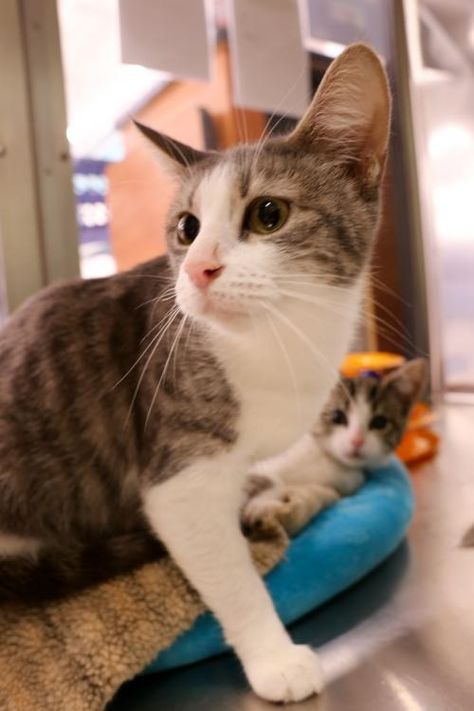 Help This Sweet Kitty Find A Home Thx For Sharing Domestic Short