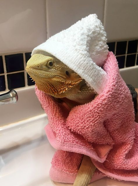 Excited to share this item from my shop: Hooded Bath Towel & Shed Aid Kit for or other similar sized or small reptiles Hooded Bath Towel & Shed Aid Kit Eco Friendly Cotton for Bearded Dragon or other similar sized reptile or small pet lizard Reptiles And Amphibians, Les Reptiles, Cute Reptiles, Cute Funny Animals, Cute Baby Animals, Pink Animals, Bearded Dragon Cute, German Giant Bearded Dragon, Bearded Dragon Habitat