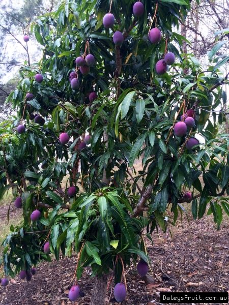 Dwarf Tree Sweet Mild Flavour Regular Moderate Yield Attractive Colour Average Wt 380gms Low Resistance To Anth Mango Tree Dwarf Fruit Trees Fruit Trees