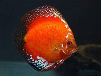 Harga Ikan Discus Terbaru 2020 Ikanesia Id Ikan Ikan Akuarium Air Tawar