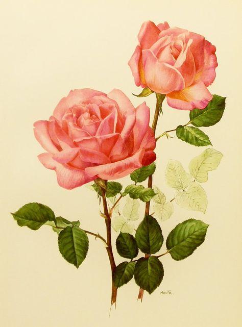 Botanical, 1960s Grace de Monaco, Silvery Pink Rose Flower Print, Vintage Illustration (For You To Frame) Book Plate No. 91