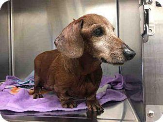 Still Listed 8 5 2017 Harvey A752953 Urgent Senior Alert Austin Animal Center In Austin Tx Adopt Or Fost With Images Dachshund Mix Dachshund Rescue Dog Adoption
