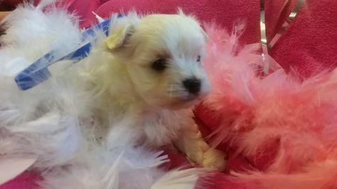 Maltese Puppy For Sale In Lexington Ky Adn 45657 On Puppyfinder