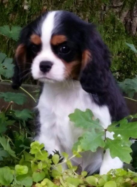 Welpen Aktuell Bonitos Companeros Cavalier King Charles Spaniel 19 Grunde Niemals Ein In 2020 King Charles Spaniel King Charles Cavalier Spaniel Puppy Spaniel Puppies