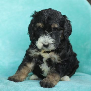 Bernese Mountain Poo Poodle Standard Mix Puppy For Sale In