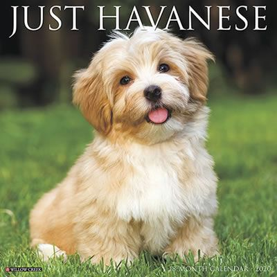 Just Havanese 2020 Wall Calendar Havanese Havanese Dogs Willow Creek