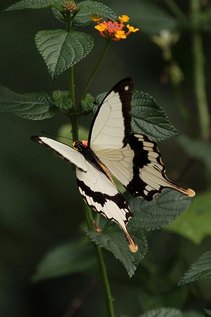 African Swallowtail  male
