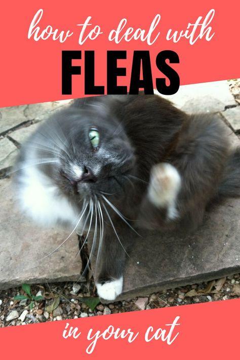 Feline Fleas Facts Cat Fleas Cat Has Fleas Fleas