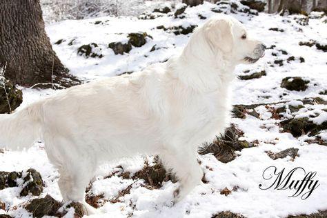 Golden Retriever Puppy For Sale In Mesa Az Adn 23906 On