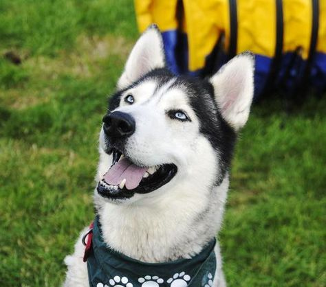 Friday Rescue Animal Favourites This Is Husky Diesel From Jerry