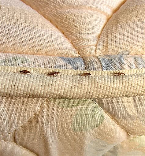Types Of Biting Bugs Found In Beds Bedbugs Bugs