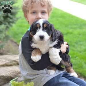 Mini Bernedoodle Puppies For Sale In 2020 Bernedoodle