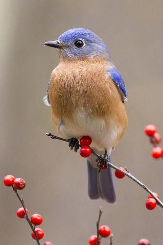Bluebird on red berries (Sialia sialis) Cute Birds, Pretty Birds, Small Birds, Little Birds, Colorful Birds, Beautiful Birds, Animals Beautiful, Yellow Birds, Funny Birds