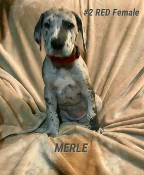 Great Dane Puppy For Sale In Phillipsburg Ks Adn 69339 On Puppyfinder Com Gender Female Age 10 Weeks Old Great Dane Puppy Great Dane Puppies For Sale