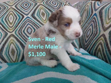 Miniature Australian Shepherd Puppy For Sale In Norfolk Ne Adn