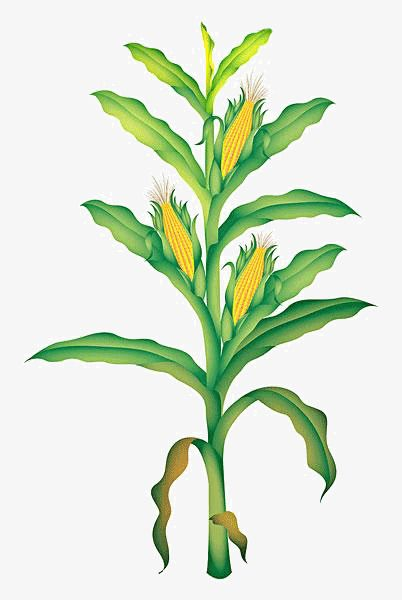 Cartoon Corn Material Cartoon Clipart Corn Clipart Cartoon Png Transparent Clipart Image And Psd File For Free Download Corn Plant Plant Cartoon Trees To Plant