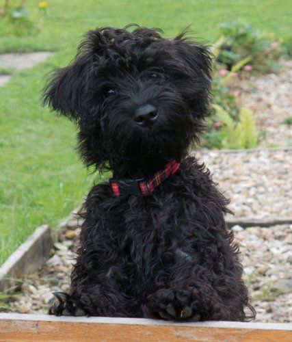 20 Of The Cutest Hybrid Dog Breeds That Got The Best Of The Two Worlds Ritely Schnoodle Dog Schnoodle Dog Breeds