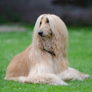 Afghan Hound The Afghan Hound Is A Long Haired Relative Of The