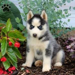 Siberian Husky Puppies For Sale Husky Puppies For Sale Husky