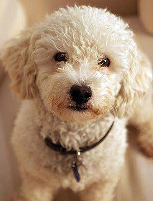 Der Pudel Ist Ein Ausserst Gelehriger Intelligenter Und Anhanglicher Hund Und Ein Vertreter Einer Der Altesten Hunderassen Heute Pudel Pudel Welpen Toy Pudel