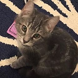 Sewell New Jersey American Shorthair Meet Patrick A For Adoption Https Www Adoptapet Com Pet 24242015 Sewell New J American Shorthair Pets Pet Adoption