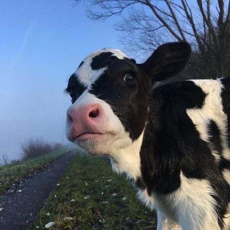 Cute Baby Cow, Baby Cows, Cute Cows, Cute Babies, Baby Farm Animals, Fluffy Cows, Fluffy Animals, Animals And Pets, Smiling Animals