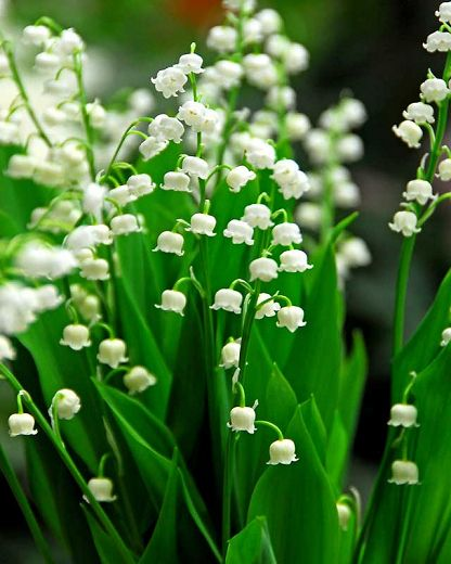 Convallaria Majalis Lily Of The Valley In 2020 Lily Of The Valley Flowers Flowers Perennials Lily Of The Valley