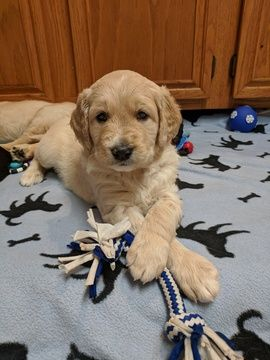 Goldendoodle Puppy For Sale In San Antonio Tx Adn 67731 On