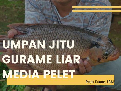 Umpan Ikan Gurame Liar Media Pelet Dijamin Paling Joss Ikan Air Tawar Ikan