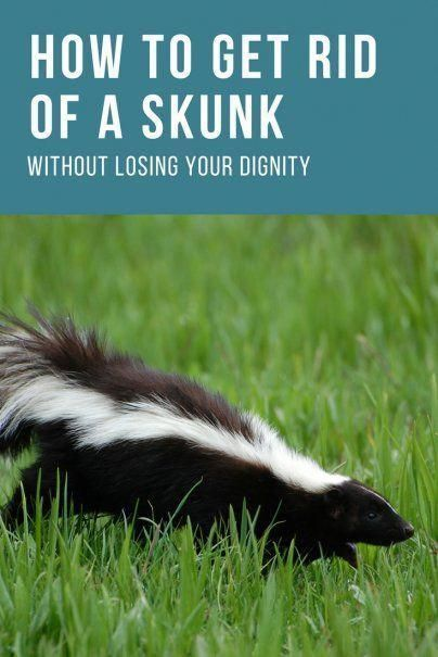 How To Get Rid Of A Skunk Without Losing Your Dignity Skunk Deterrent Home Care Hacks Life Hacks Garden Pest Control Getting Rid Of Skunks Pest Control