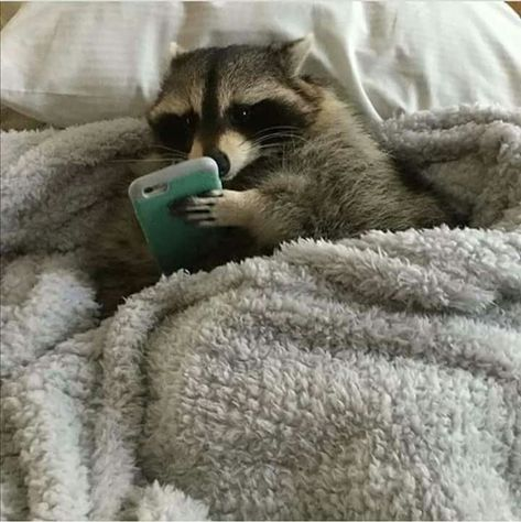 We provide Thousands of cute animal pictures, gifs, videos on demand! Also great article on how to be dogs, cats & birds owner. Cute Funny Animals, Cute Baby Animals, Animals And Pets, Cute Raccoon, Racoon, Baby Raccoon, Rocket Raccoon, Tier Fotos, Cute Animal Pictures