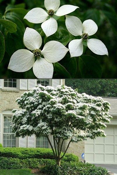 Buy White Kousa Chinese Dogwood Free Shipping 2 Gallon Pot Size Cornus Kousa Trees For Sale In 2020 White Flowering Trees Dogwood Tree Landscaping Dogwood Trees