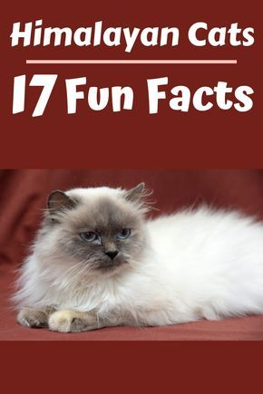 17 Fun Facts About Himalayan Cats That You Should Know 2020 In 2020 Himalayan Cat Cute Cats And Dogs Cat Facts
