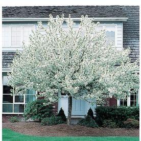 3 63 Gallon Spring Snow Crabapple Flowering Tree L3593 Lowes Com Spring Snow Crabapple Spring Flowering Trees Flowering Trees