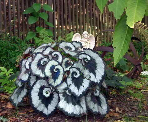 escargot begonia--foliage is gorgeous! Decorationconcepts.com