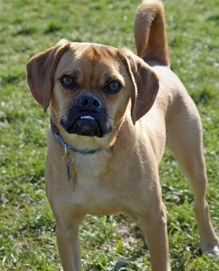 Pug And Beagle Puggle Pets Love Spring Group Board Pinterest Mixed Breeds Mix
