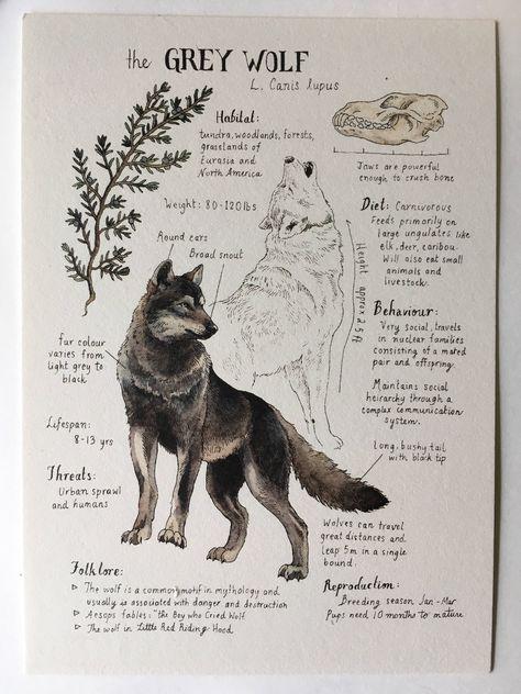 Étude naturelle loup gris impression 5 x 7 po.