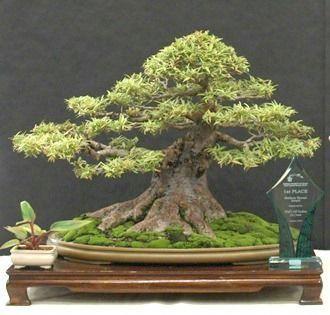 Willow Leaf Fig Bonsai Ficus N Bu Ed Trout Indoorbonsaitrees Ficus Bonsai Tree Bonsai Ficus Bonsai Tree