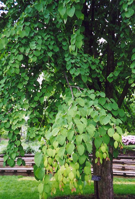 click to view fullsize photo of katsura tree japonicum at connon