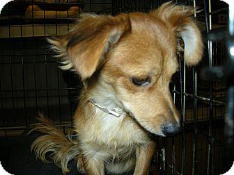 Las Vegas Nv Dachshund Meet Cassie A Dog For Adoption Dachshund Adoption Dachshund Dog Adoption