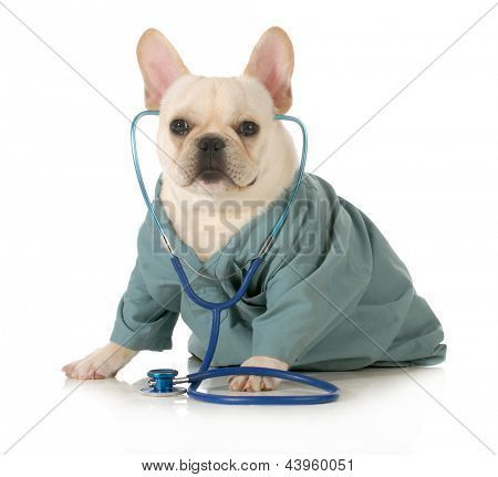 Veterinary Care French Bulldog Dressed Up Like A Vet Wearing A Stethoscope Isolated On White Background Poster In 2020 Pet Care Dog Insurance Pet Insurance Reviews