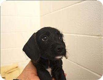 Delaware Oh Dachshund Schnauzer Miniature Mix Meet Boba A Puppy For Adoption Http Www Adoptapet Com Pet Kitten Adoption Dachshund Mix Puppy Adoption