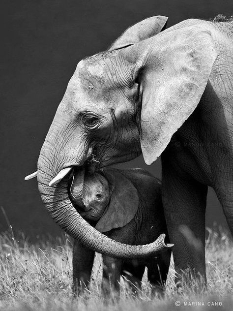 Elephant and calf by Marina Cano Photo Elephant, Elephant Love, Elephant Art, African Elephant, Elephant Gifts, Elephant Family, Mom And Baby Elephant, Elephant Images, Elephant Pictures