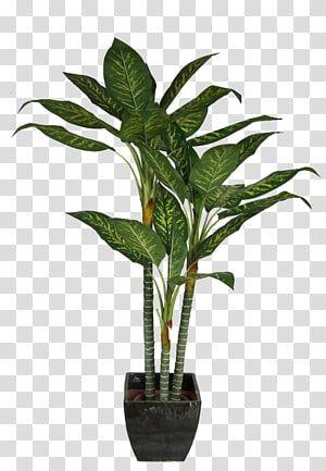 Green Dumb Cane Plant In Black Pot Dracaena Fragrans Houseplant Interior Design Services Potted Plant Transparent Bac Green Flower Pots Tree Photoshop Plants