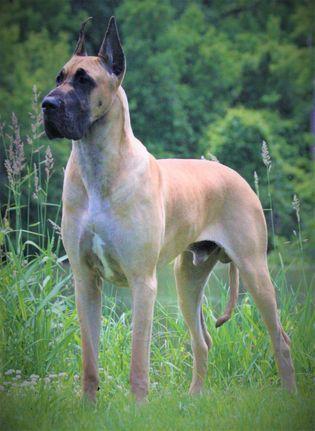 Great Dane Stud Dogs Hauer N Rockingdane S Knight Great Dane