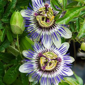 Passion Flower Vine At Spring Hill Nurseries In 2020 Blue Passion Flower Passion Fruit Flower Passion Flower