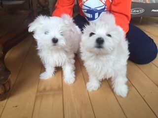 Maltese Puppy For Sale In Chicago Il Adn 65416 On Puppyfinder