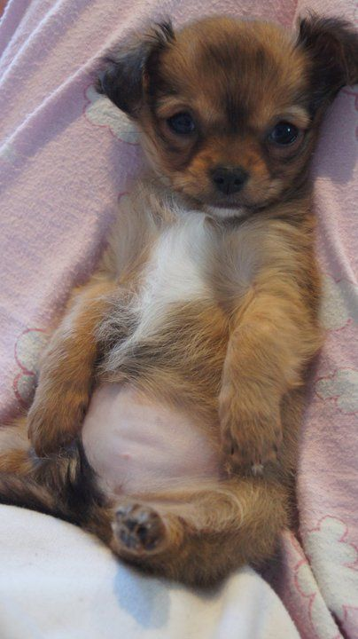 See This Belly Rub It Please Chihuahua Welpen Hund Chihuahua