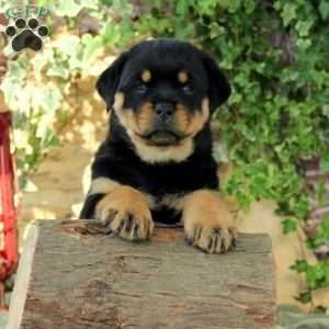 New Arrivals Rottweiler Rottweiler Funny Greenfield Puppies