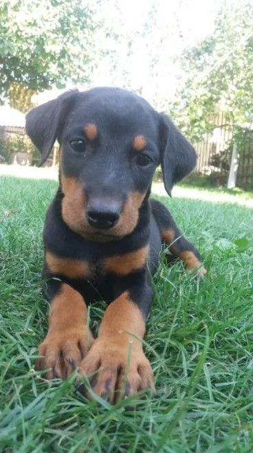Doberman Pinscher Doberman Pinscher Dog Doberman Pinscher Puppy